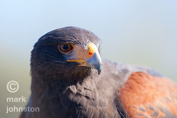 Harris' Hawk portrait