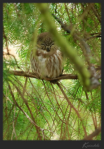 A sleepy Northern Saw-whet Owl turns his head just long enough to see who woke him up. Reminds me of my kitty when she's napping.