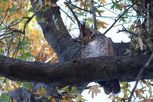 21 Nov: Great Horned Owl in Central Park