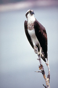 Osprey perched on an upright branch.  Photo by Utah Division of Wildlife Resources.