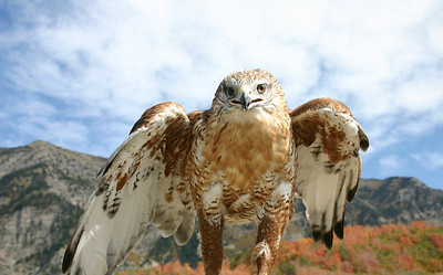 Closeup of ferruginous hawk.  Photo by Scott Root, Utah Division of Wildlife Resources.