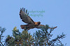 Red-tailed Hawk8740