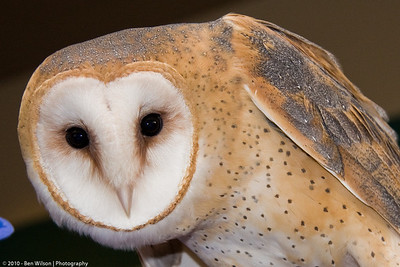 Barn Owl at Raptor Center
