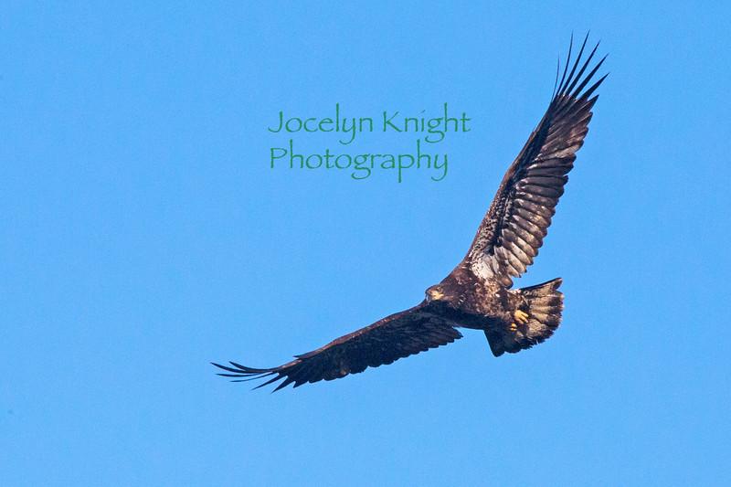 Eagle8372a