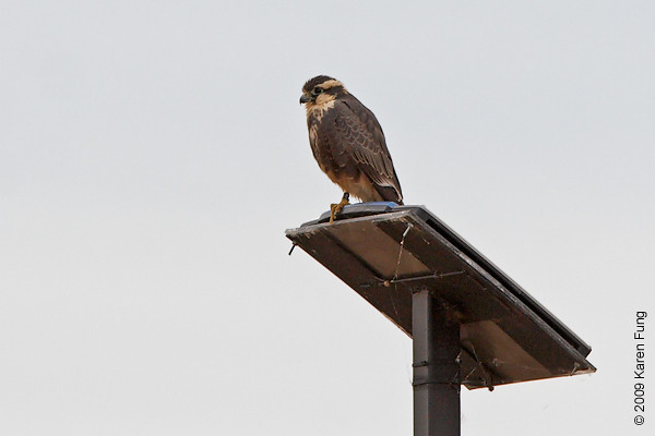 13 Nov, 8:26am: Aplomado Falcon perched on solar panel at Bosque del Apache (NM).  Viewed from the Marsh Trail.