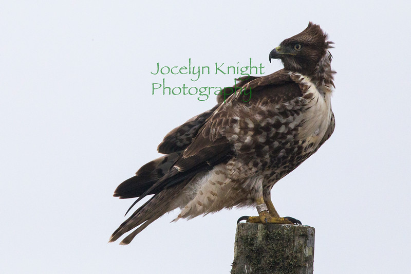 JuvRed-Tailed Hawk7420