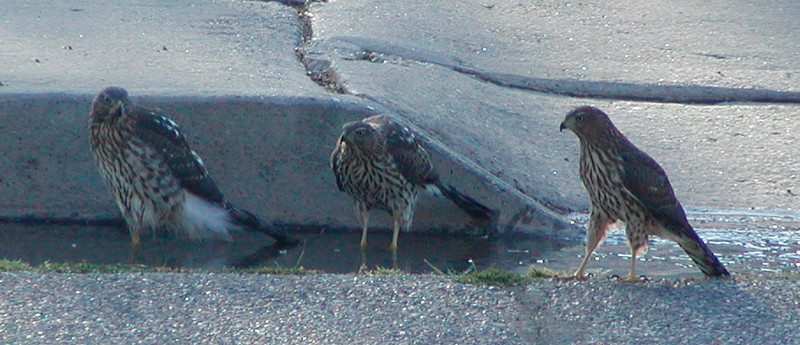 3 Young Coopers Hawks