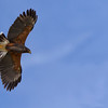 Harris's hawk soaring at raptor free flight