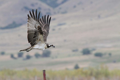 An osprey shortly after being untangled from baling twine in its nest near Utah Lake. Photo taken July 30, 2013.