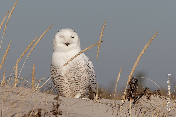 28 Dec: Snowy Owl napping (cropped)