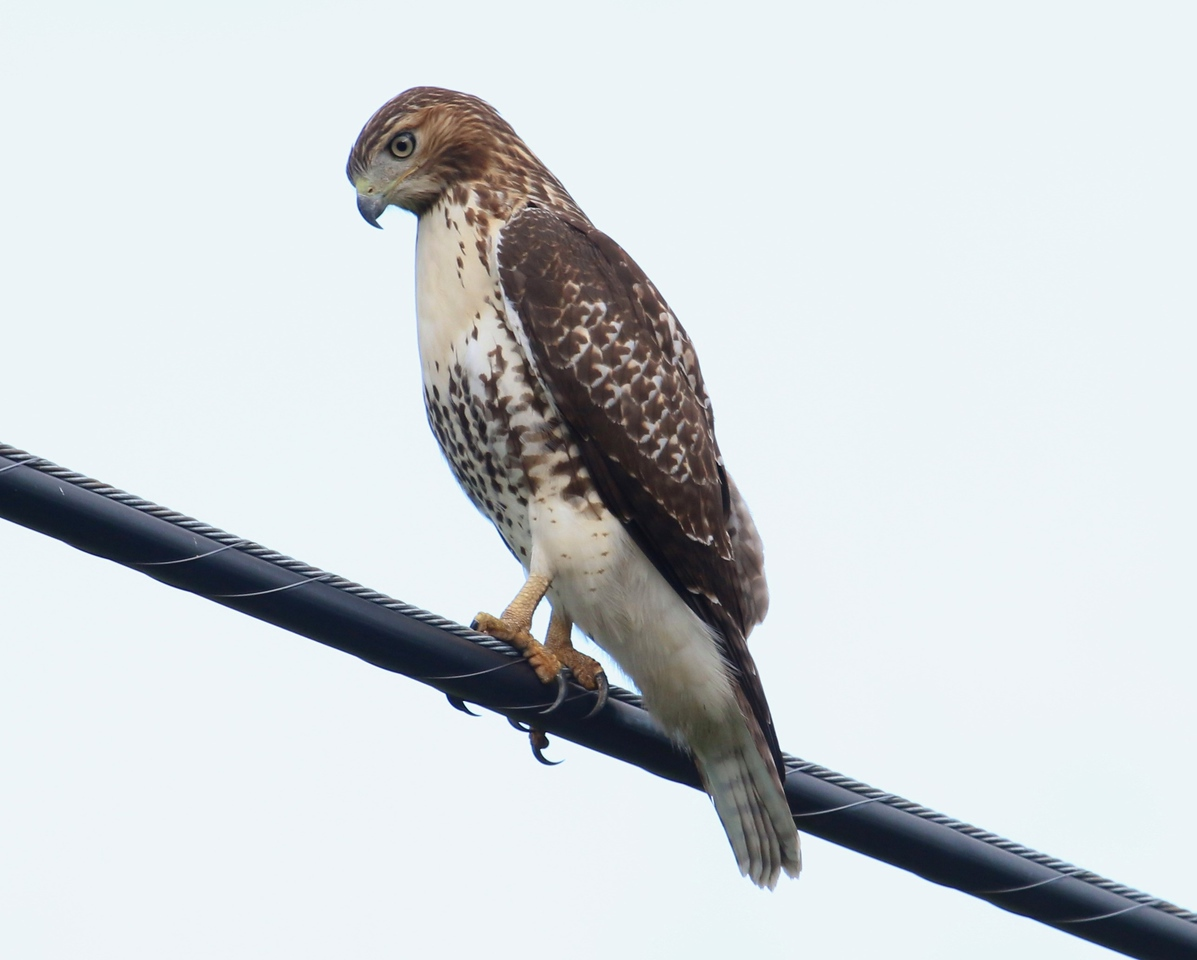 Red Tail Hawk Route 147 in Middlefield, CT