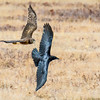 Harrier and Crow
