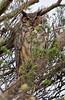 Momma Great horned Owl