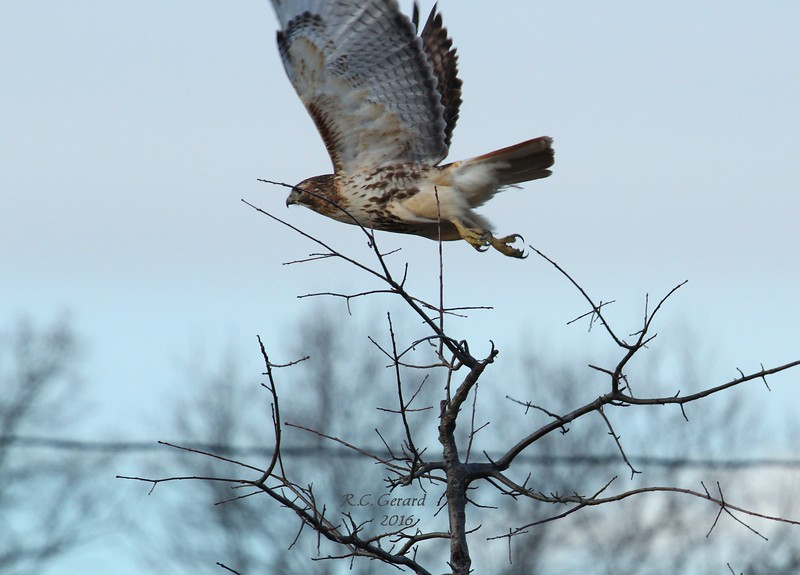"Red Tail, observed at Town of Madison's ""Salt Meadow Park"""