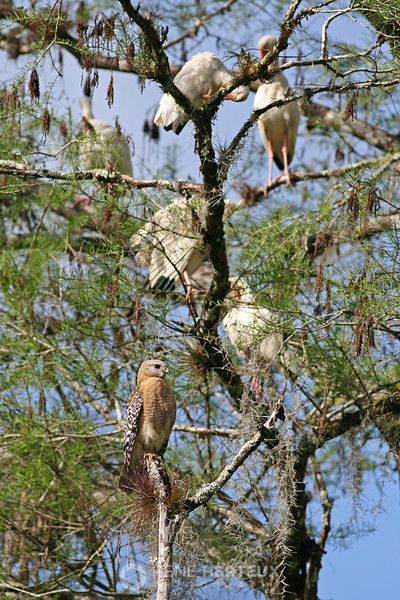 Red shouldered hawk and ibis