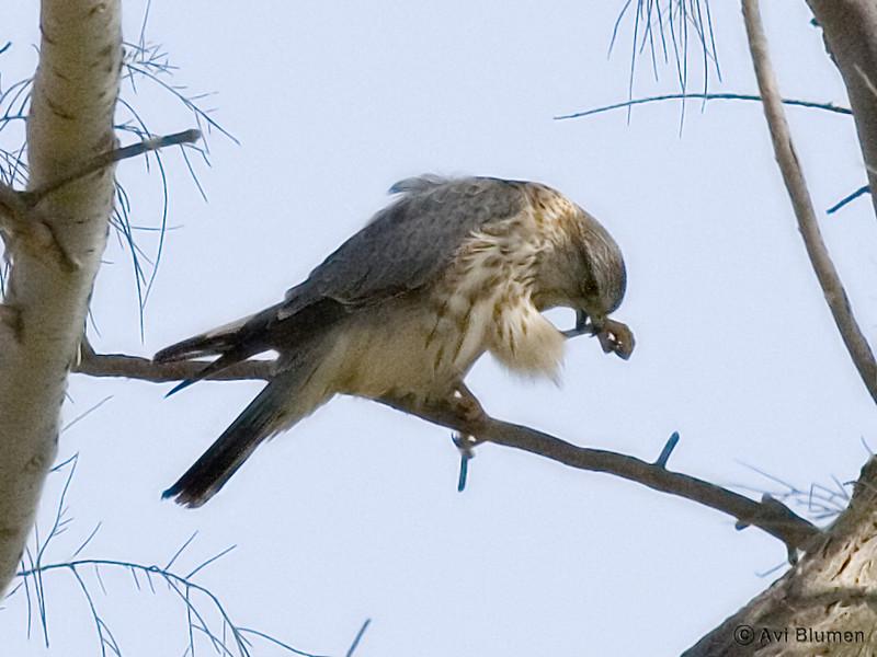 Merlin - male בז גמדי - זכר