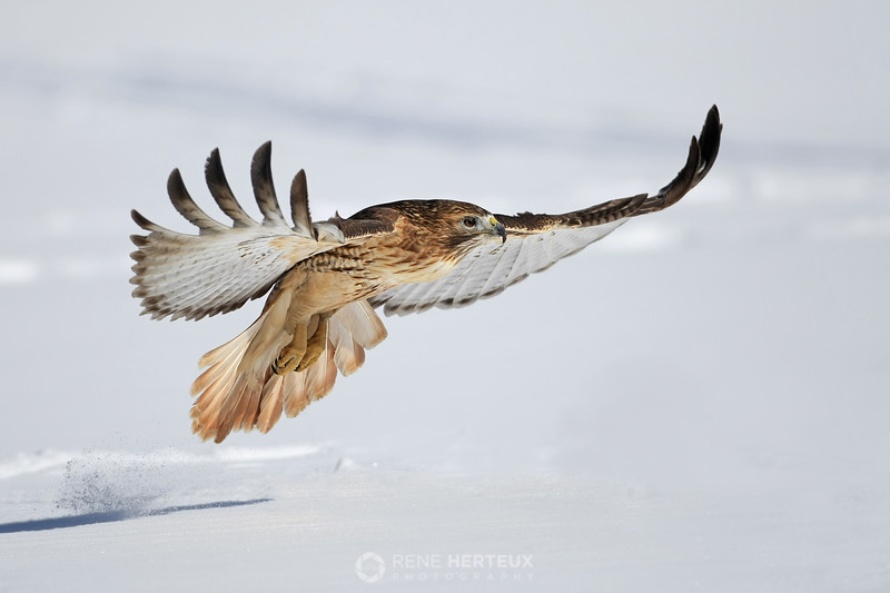 Red tailed hawk low flight
