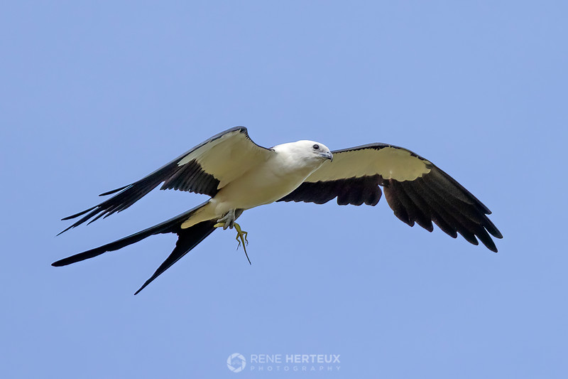 Swallow tailed kite with anole