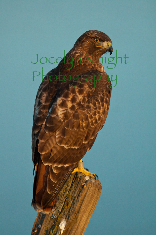 RedTail Hawk on Tiburon Ridge