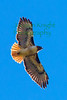 Red-Tailed  Hawk2484