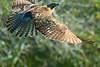 Hawk(8x12)0294