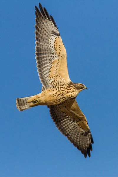 Broad-winged Hawk, Warman, Saskatchewan