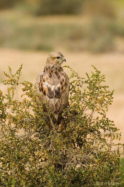 Common (step) buzzard  עקב חורף מזרחי<br /> On spring migration at the Negev desert<br /> צולם בנדידת האביב במרכז הנגב