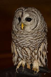 Barred Owl, captive