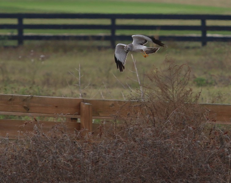 Male Harrier hunting