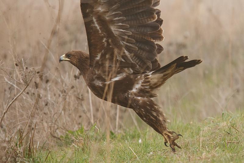 spotted eagle עיט צפרדעים