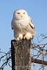 Snowy owl posing