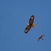 Long legged buzzard mobbed by a kestrel<br /> עקב עיטי מותקף על ידי בז מצוי