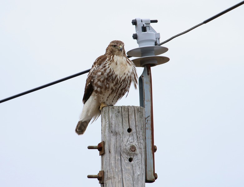 Red Tail Hawk - Shell Beach Guilford