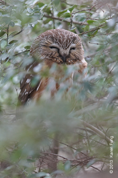 16 February: Northern Saw-whet Owl in Central Park