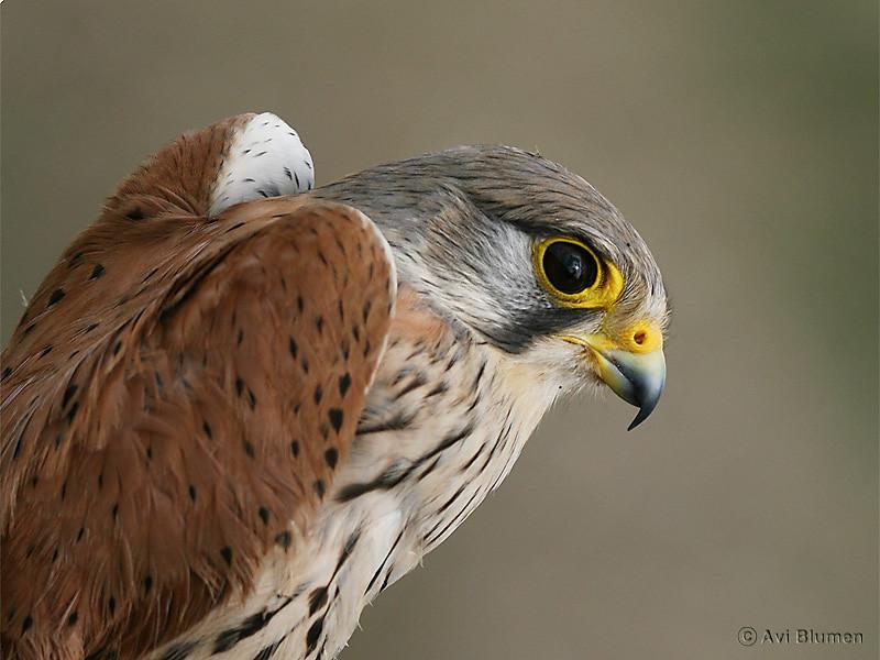 "Kestrel - male בז מצוי - זכר<br /> this shot was taken on a hand-held bird ""ringing"" session<br /> צולם כשהציפור מוחזקת ביד ביד במהלך טיבוע לצרכי מחקר"