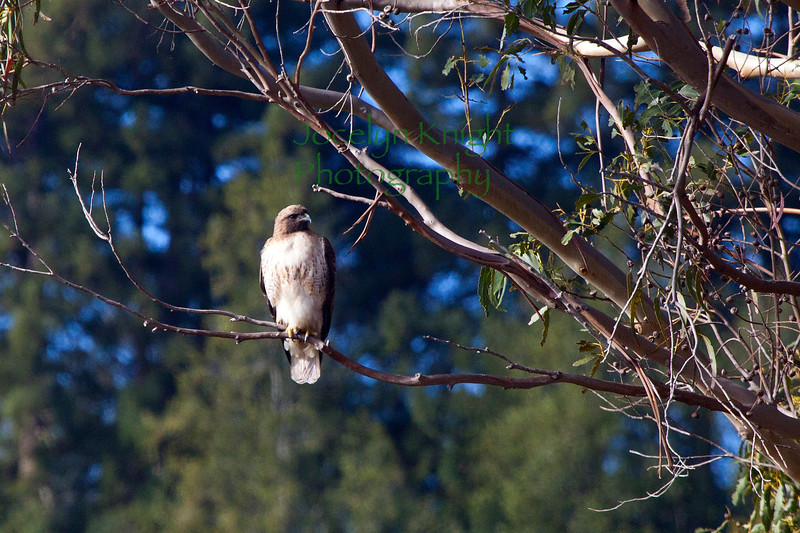 Red-Tailed Hawk3548
