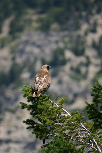 Perching red-tailed hawk.  Photo by Scott Root, Utah Division of Wildlife Resources.
