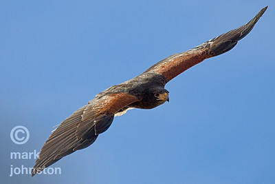 Harris' Hawk in flight
