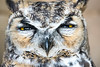 Great horned owl. Photo by Tom Becker, Utah Division of Wildlife Resources.