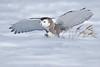 Snowy Owl ready to strike