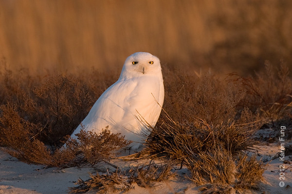 1 January: Snowy Owl, Long Island, 4:17pm.