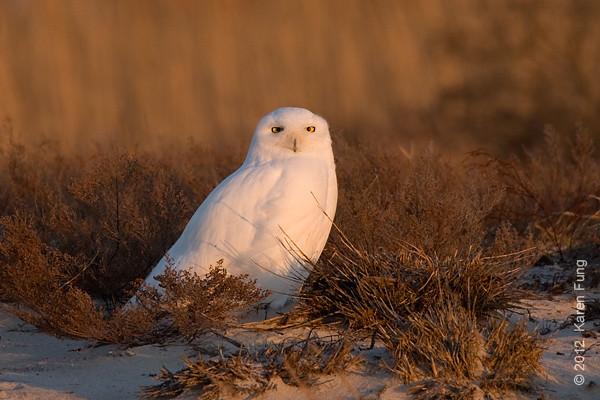 1 January: Snowy Owl, Long Island, 4:17pm.