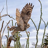 Great horned owl at take off