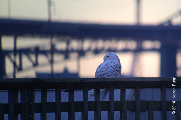 """12 Jan: Snowy Owl at DeKorte Park; NJ Tpke in background.  Digiscoped (iPhone 5s + Swaro 80mm + Kowa adapter).  A short video of this owl is here: <a href=""""https://vimeo.com/84511445"""">https://vimeo.com/84511445</a>"""