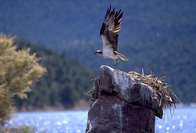 Ospreys often build their nests atop isolated rock pinnacles. Photo by Utah Division of Wildlife Resources.