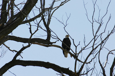 Mature, full body bald eagle in a tree.  Photo by Scott Root, Utah Division of Wildlife Resources
