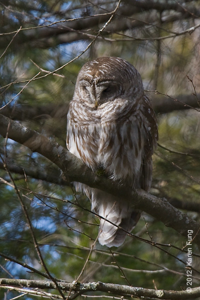 4 February: Barred Owl in Sullivan County