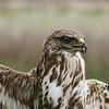 "Common buzzard - juvenile עקב חורף - צעיר<br /> this shot was taken on a hand-held bird at a ""ringing"" session<br /> צולם כשהציפור מוחזקת ביד ביד במהלך טיבוע לצרכי מחקר"