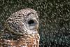 Barred owl shower