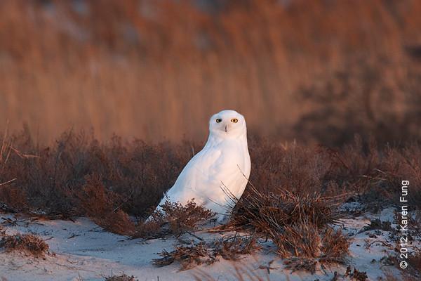 1 January: Snowy Owl, Long Island, 4:22pm